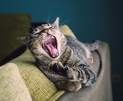 Portrait of yawning cat lying on the backrest of a couch - p300m1047872f by Ramon Espelt