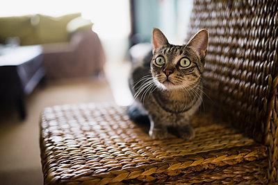 Portrait of starring cat sitting on wicker chair - p300m1081629f by Ramon Espelt