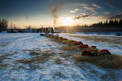 Newton Marshall's team rests on straw in the early morning at Nikolai during the 2014 Iditarod. - p442m1033943 by Design Pics