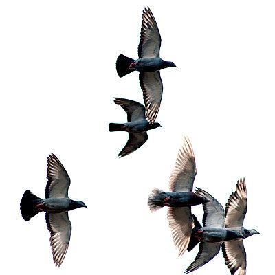 Flying pigeons - p8960355 by Vincent van den Hoogen