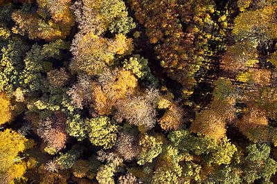 Indian Summer, Forest - p1294m2231502 by Sabine Bungert