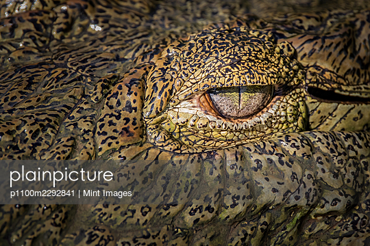 The eye of a crocodile, Crocodylus niloticus - p1100m2292841 by Mint Images