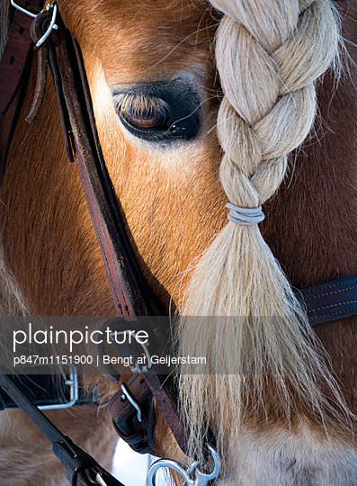 Horse With Braided Hair   - p847m1151900 by Bengt af Geijerstam