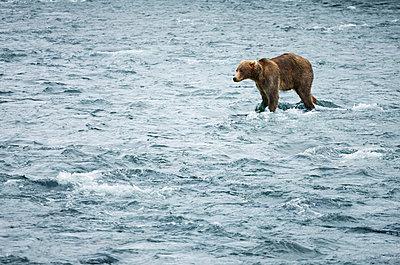Brown Bear - p343m1122482f by Paul E Tessier