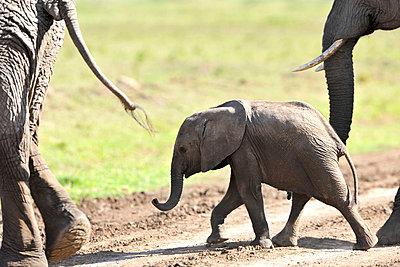 Little Elephant - p533m1003301 by Böhm Monika