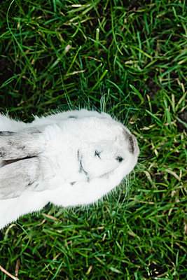White rabbit on grass, top view - p1628m2211989 by Lorraine Fitch