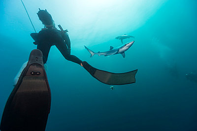 South Africa, diver and blue shark - p300m1028636f by Gerald Nowak