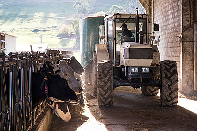 Tractor pouring feed for cows on a farm - p300m1204497 by Andrés Benitez