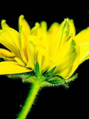 Rudbeckia Blossom - p401m2224598 by Frank Baquet