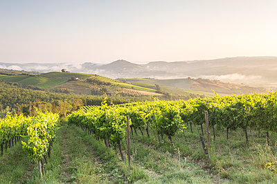Vineyards near to Orveito, Umbria, Italy, Europe - p871m1197019 by Julian Elliott