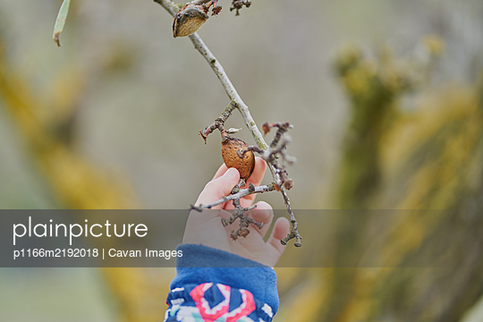 A child's hand holds an almond in the tree - p1166m2192018 by Cavan Images