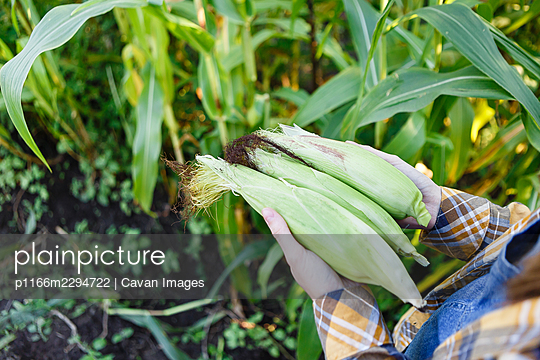 Young female farmer harvests young ecological corn - p1166m2294722 by Cavan Images