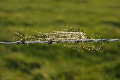 Schafswolle am Stacheldraht - p1650280d von Andrea Schoenrock