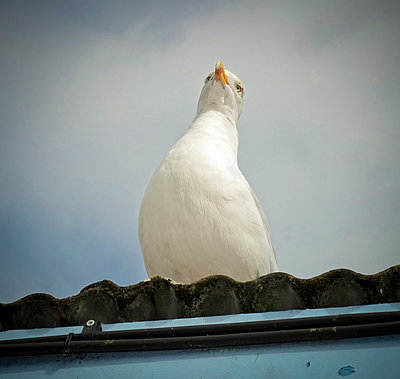 Sea Gull on top of corrugated roof - p1072m829218 by Neville Mountford-Hoare