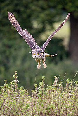 Eurasian Eagle-Owl  flying, Gloucestershire, England - p884m1145383 by John Gooday/ NIS