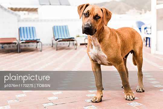 Hund auf Terrasse - p1076m1170275 von TOBSN