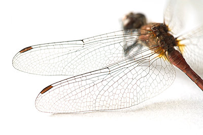 Close-up of dragonfly - p265m1115847 by Oote Boe