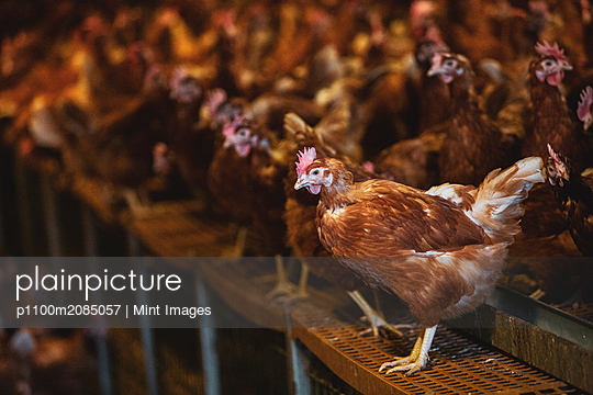 Large flock of brown hens in a chicken barn at a farm. - p1100m2085057 by Mint Images