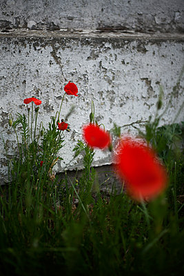 Red poppies - p1028m2100731 by Jean Marmeisse