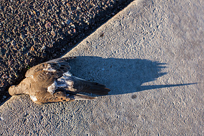 Dead Dove On The Street With Shadow - p1291m1553253 by Marcus Bastel