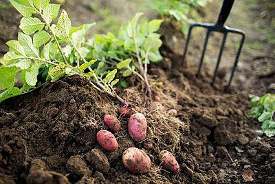 Potatoes - p312m2086485 by Fredrik Ludvigsson