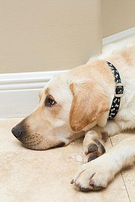 Labrador retriever - p919m822724 by Beowulf Sheehan