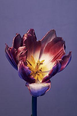 Lila Tulpe - p1613m2183930 von pohlit