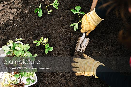 Person prepares strawberries seedling for planting - p1166m2292575 by Cavan Images