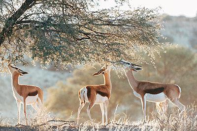 Fressende Springböcke, Kalahari, Afrika - p1065m982580 von KNSY Bande