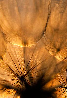 Goat's-Beard seeds at sunset - p1144m943967 by Nico van  Kappel