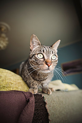 Portrait of tabby cat on backrest of a couch - p300m1047491f by Ramon Espelt