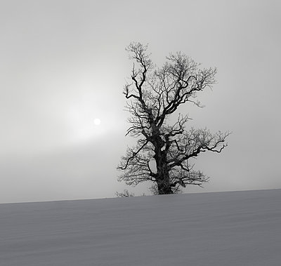 Naked tree - p816m1032221 by Bergersen, Ove