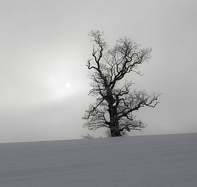 Kahler Baum - p816m1032221 von Bergersen, Ove