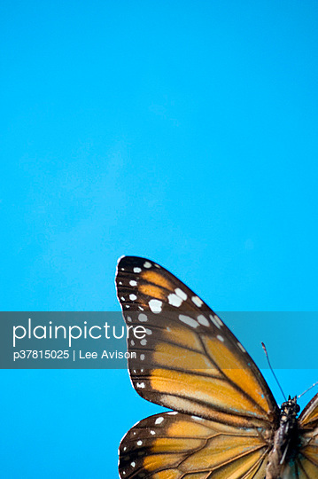 Butterfly against blue sky - p37815025 by Lee Avison