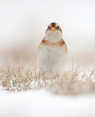 Snow Bunting foraging in the snow - p1144m967152 by Henny van Egdom