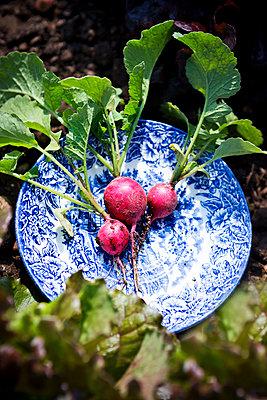 Harvest of radishes - p1149m1582822 by Yvonne Röder