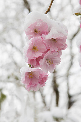 Snow covered cherry blossom - p300m659941f by Achim Sass