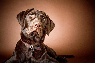 Chocolate Labrador Retriever; Portrait of a labrador - p4429431f by Design Pics