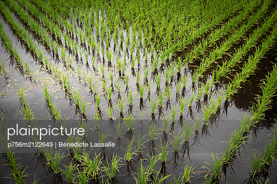 Paddy field - p756m2122649 by Bénédicte Lassalle