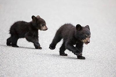 American black bear (Ursus americanus) crossing a road - p300m885004f by Fotofeeling