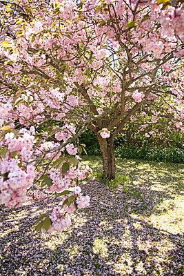 Flowering cherry-tree Oland Sweden - p5280131f by Elisabet Zeilon