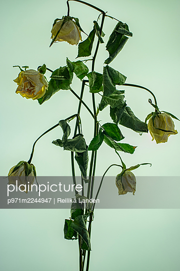 Wilted roses - p971m2244947 by Reilika Landen