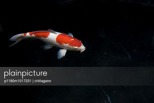 Zweifarbiger Koikarpfen - p1180m1017231 von chillagano