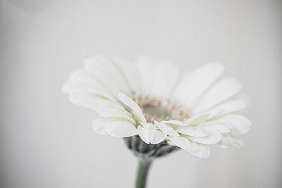 Close up of a Gerbera flower - p1470m1539183 by julie davenport