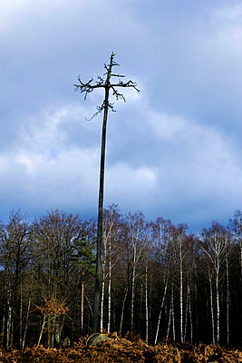 A crucifix made of  a tree att a cut forest - p575m664109 by Peter Rutherhagen