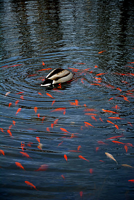 duck with goldfish swarm - p876m1146137 by ganguin