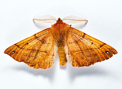 Feathered Thorn Moth (Colotois pennaria) - p1501m2064189 by Alexander Sommer