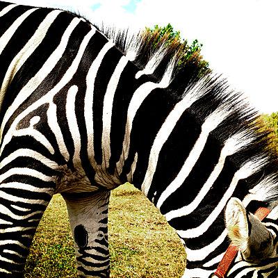 Zebra - p56711589 by Claire Dorn