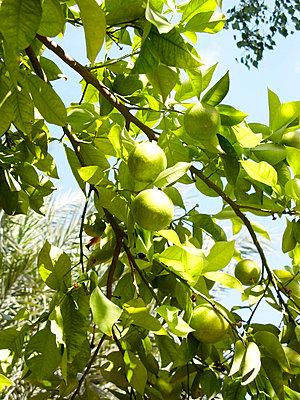 Zitronenbaum - p8870054 von Christian Kuhn