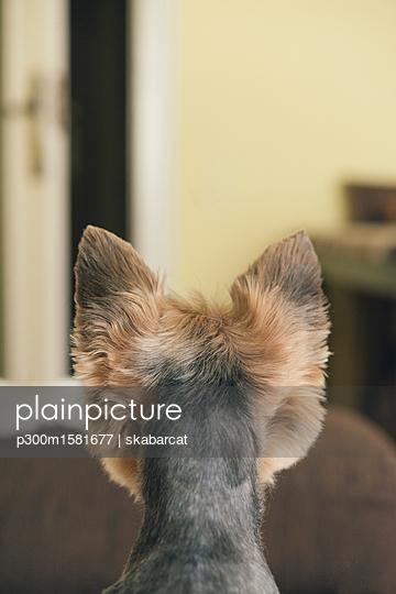 Portrait of yorkshire terrier, backview, looking to door - p300m1581677 von skabarcat